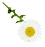 Vulgare Leucanthemum, маргаритка вол-глаза или маргаритка oxeye стоковая фотография rf