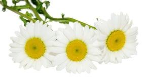 Vulgare Leucanthemum, маргаритка вол-глаза или маргаритка oxeye Стоковое фото RF
