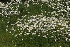 Vulgare Leucanthemum, маргаритка Oxeye, маргаритка в Германии, Европе Стоковое Изображение RF