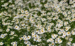 vulgare Leucanthemum маргариток Вол-глаза в цветке Стоковая Фотография