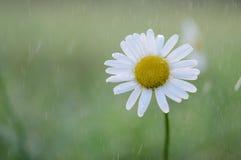 Vulgare Leucanthemum Стоковая Фотография