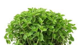 Vulgare origanum душицы стоковая фотография rf