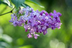 Vulgaris ανθίζοντας φυτό Syringa στα οικογενειακά oleaceae ελιών, αποβαλλόμενος θάμνος με την ομάδα ανοικτό βιολετί πορφυρών λουλ στοκ φωτογραφίες