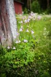Vulgaris λουλούδια Aquilegia στο φινλανδικό άγριο κήπο Στοκ εικόνα με δικαίωμα ελεύθερης χρήσης