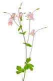 Vulgaris λουλούδι Aquilegia Στοκ φωτογραφίες με δικαίωμα ελεύθερης χρήσης