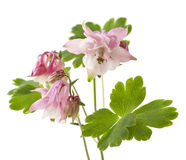 Vulgaris λουλούδι Aquilegia Στοκ Εικόνες