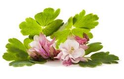 Vulgaris λουλούδι Aquilegia Στοκ φωτογραφία με δικαίωμα ελεύθερης χρήσης