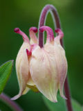 vulgaris aquilegia Royaltyfria Foton