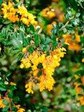 vulgaris berberis Royaltyfri Foto