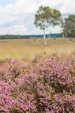 Vulgaris Calluna, en typisk ljungblomma som blommar i rosa färger royaltyfri foto