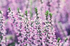 Vulgaris Calluna för Violet Heather blommafält Små rosa lila växter, vit bakgrund slapp fokus grunt kopieringsutrymme Royaltyfria Foton