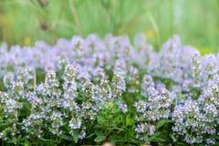 Vulgaris de thymus connu sous le nom de thym commun, thym de jardin, variété avec - fleurs roses - l'herbe médicinale pâle photographie stock
