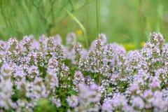 Vulgaris de thymus connu sous le nom de thym commun, thym de jardin, variété avec - fleurs roses - l'herbe médicinale pâle images stock