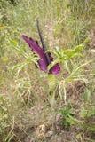 Vulgaris Dracunculus is species van aroid in de soort Dracunculus en is verscheiden genoemd geworden gemeenschappelijke dracuncul royalty-vrije stock foto's