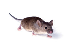 Vulgaris house mouse (Mus musculus) sneaks up on white backgroun Stock Images