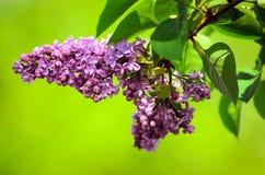 vulgaris lila syringa Royaltyfria Foton