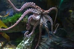 Vulgaris octopusoctopus, een zacht-gebouwd, acht-bewapend die weekdier binnen klassencephalopoda wordt gegroepeerd met pijlinktvi royalty-vrije stock afbeelding