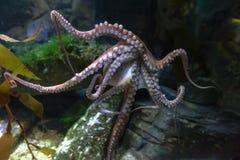 Vulgaris octopusoctopus, een zacht-gebouwd, acht-bewapend die weekdier binnen klassencephalopoda wordt gegroepeerd met pijlinktvi stock fotografie