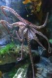 Vulgaris octopusoctopus, een zacht-gebouwd, acht-bewapend die weekdier binnen klassencephalopoda wordt gegroepeerd met pijlinktvi stock foto
