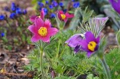 Vulgaris Pasque blomma eller pulsatilla royaltyfri bild