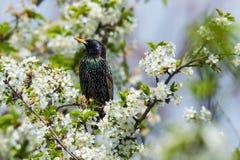 Vulgaris Sturnus - Gemeenschappelijke starling zitting op een boom stock fotografie