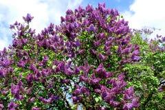 (Vulgaris Syringa) det lila trädet Royaltyfri Foto