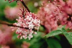 Vulgaris Syringa - lila blomma arkivfoto