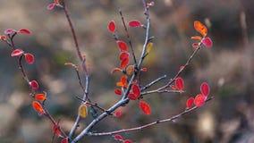 Vulgaris tak van berberisberberis met de kleurrijke close-up van de herfstbladeren Royalty-vrije Stock Afbeeldingen
