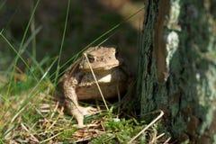 Vulgaris toad (Bufo bufo) in grass Stock Photography