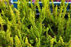 Vulgaris vert de Calluna connu sous le nom de bruyère, ling, ou simplement bruyère commun photos stock