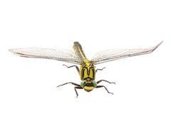 Vulgatissimus común de Gomphus del clubtail en un fondo blanco fotografía de archivo libre de regalías