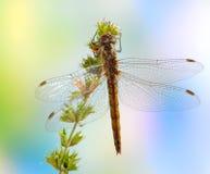 vulgatum sympetrum dragonfly женское стоковая фотография rf