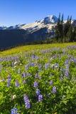 Vulkaan en purpere bloemen Stock Afbeelding