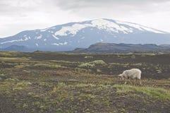 vulkan för heklaiceland sheeps Royaltyfri Fotografi