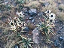 Vulkanische bloemen royalty-vrije stock afbeelding