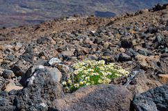 Vulkanische Landschaft EL Teide, Teneriffa, Spanien Stockfotografie