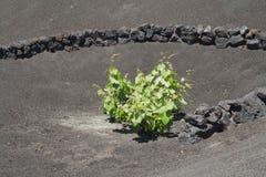 Vulkanische Rebe Stockfotografie