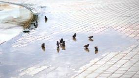 In vulklei zwemmen de mussen, bespatten de zomer hete dag, bij de fontein stock footage