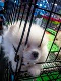 Vulkleihond in het kooi wachten en het hopen uit te gaan Stock Foto