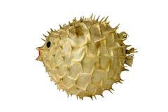 Het Vullen van Globefish Royalty-vrije Stock Foto's