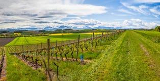 Vullierens, die Schweiz-Weinberg Stockfoto