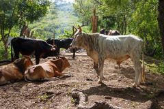 Vulls from a rustic farm in Nicaragua Stock Image