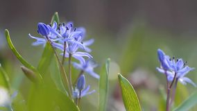 Vulnerable blue squill flowers and buds, Scilla bifolia, on a sunny spring day, nature awaken time, extreme blurred background. Video footage stock footage