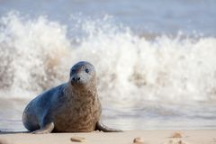 Vulnerable wildlife. Sad frightened looking young animal. Cute baby seal. Alone on the beach. Nature in need of protection. Grey seal from the Horsey colony royalty free stock images
