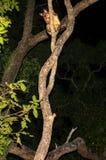 Vulpecula commun de Trichosurus d'opossum de Brushtail grimpant à un arbre dans la forêt tropicale du Queensland la nuit image stock