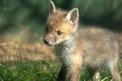 vulpes красного цвета котенка лисицы Стоковая Фотография