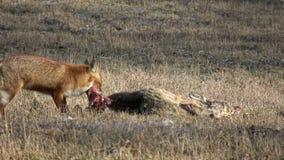 Vulpes animal bonito da raposa vermelha que come a carne do cadáver dos cervos de ovas no campo filme