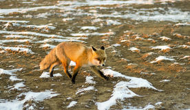 Vulpes corsac. Little fox that lives in the desert Royalty Free Stock Image
