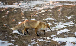 Vulpes corsac. Little fox that lives in the desert Royalty Free Stock Photography