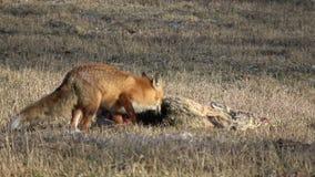 Vulpes da raposa vermelha que come o cadáver inoperante dos cervos de ovas no campo da mola video estoque